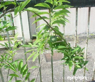 Custard Apple Plant